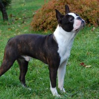 boston terrier dog american hero