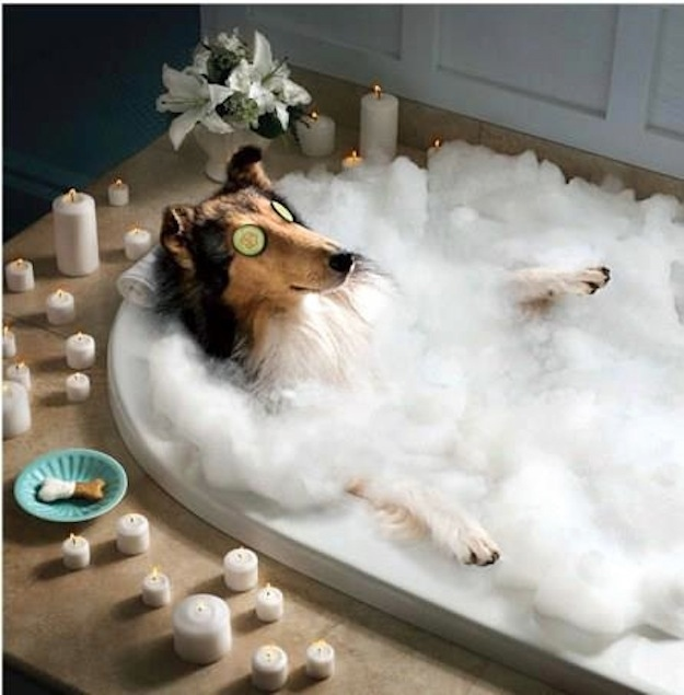 collies enjoying spa funny dog picture