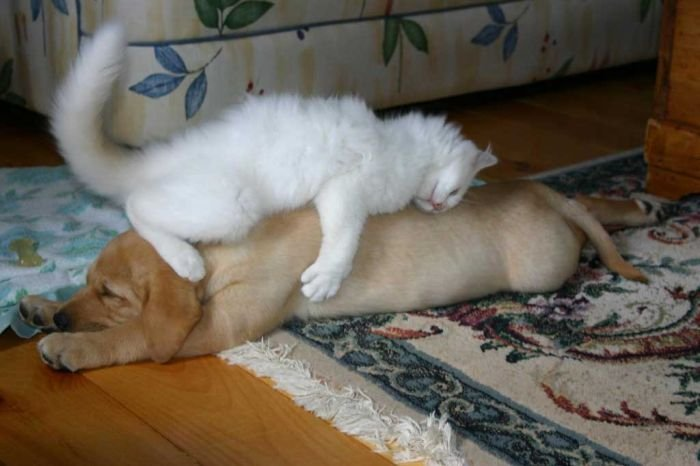 dog as pillow funny picture