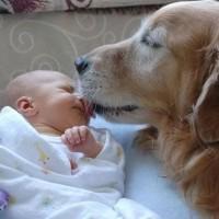 funny dog kissing sleeping baby