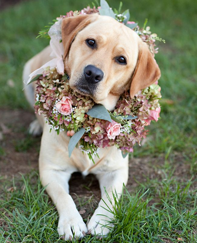golden labrador with flowers picture