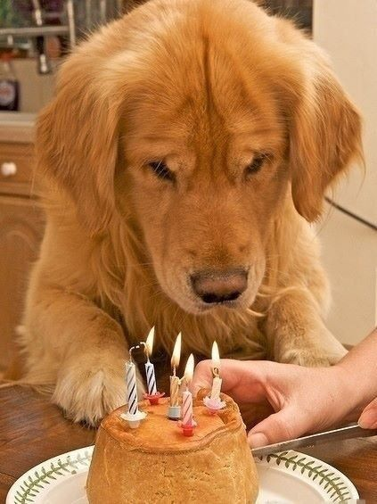 Happy Birthday Golden Retrievers Picture Dog Breeders Guide