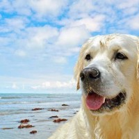 labrador retrievers near beach enjoying picture