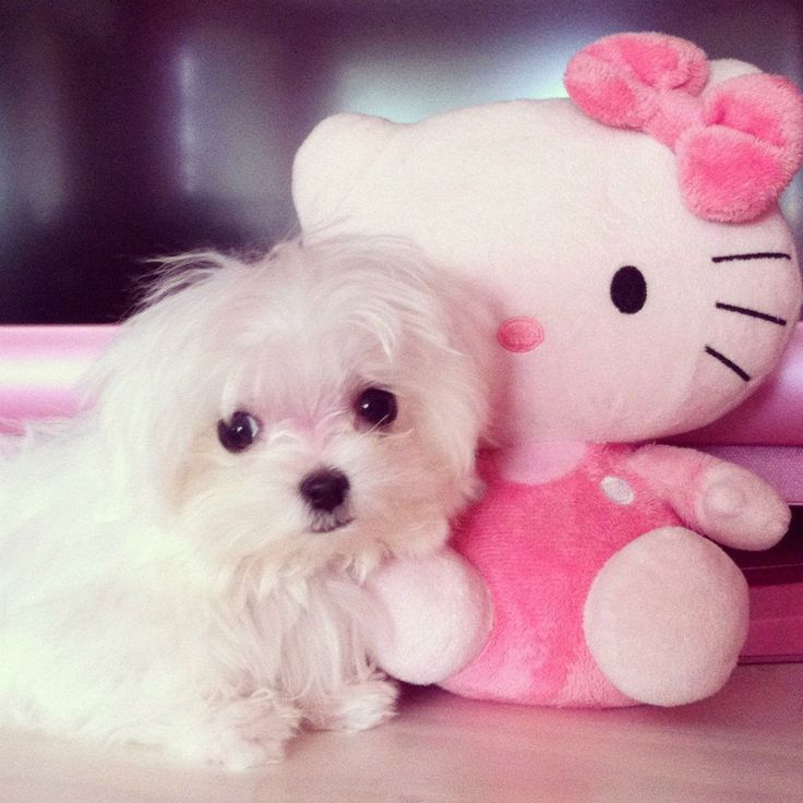 Teacup dogs are super sweet puppies and make great companion. They are ...