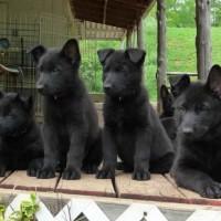 puppy for adoption