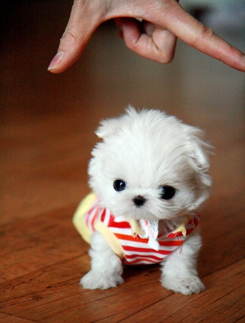 so small n cute teacup dog