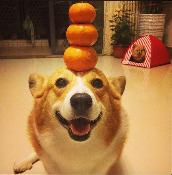 stacking 3 oranges on head funny dog picture