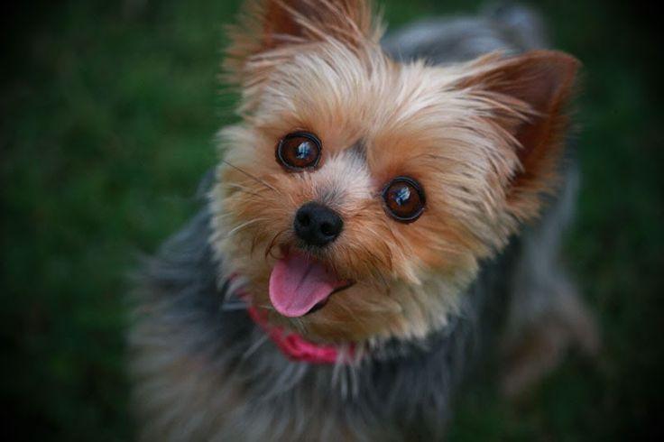 Dog Breeds Low Maintenance Dog Breeds Small Teacup Dog ...