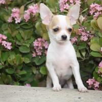 the chihuahua white dog