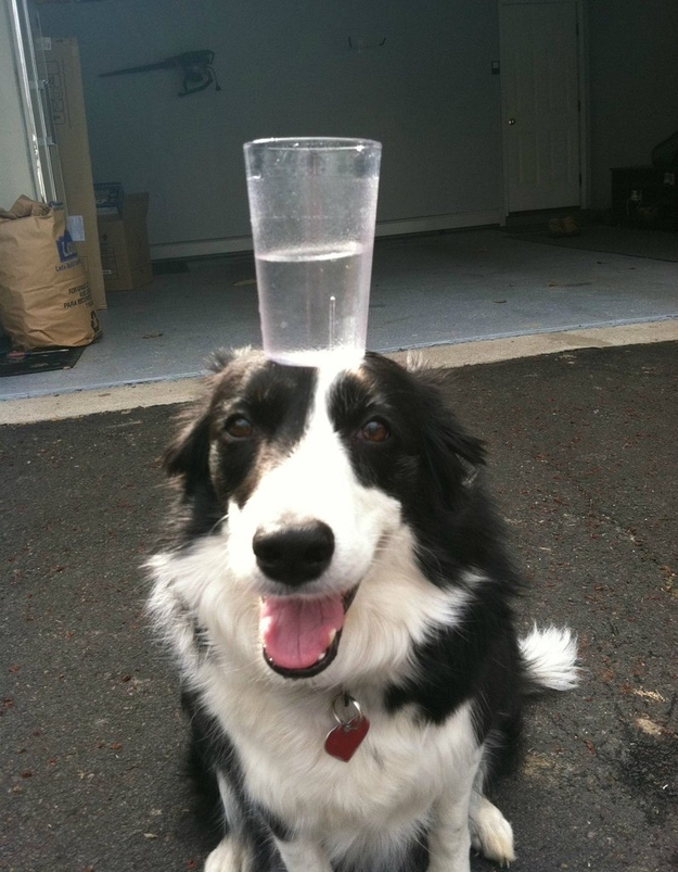 water glass on the head balancing funny dog picture