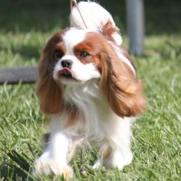 white n brown king charles spaniel dog