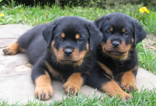2 Rottweiler Puppies Sitting together Picture