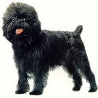 Affenpinscher That Stay Small Dog Breed