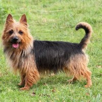 Australian Terrier That Stay Small Dog Breed