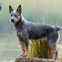 Australian cattle dog Low Maintenance Dogs