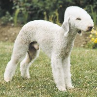 Bedlington Terrier That stay small dog breed