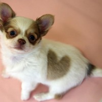 Chihuahua Low Maintenance Dog Breed