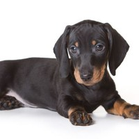 Dachshund Low Maintenance Dog Breed