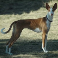 Ibizan Hound Low Maintenance Dog Breed