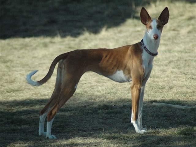 Ibizan Hound Low Maintenance Dog Breed
