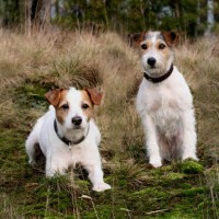 Russell Terrier Low Maintenance Dog Breed