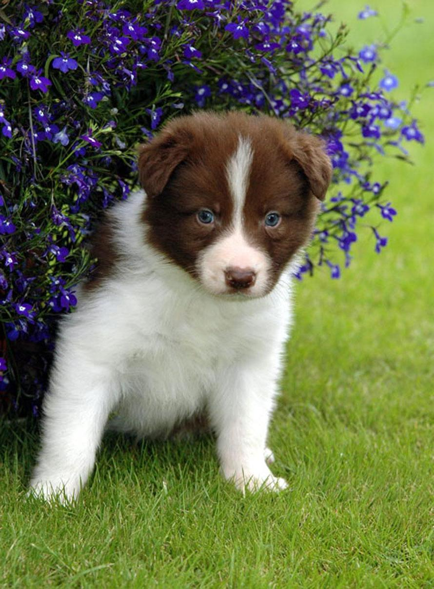 Adorable Border Collie Puppy Dog Breed Wallpaper