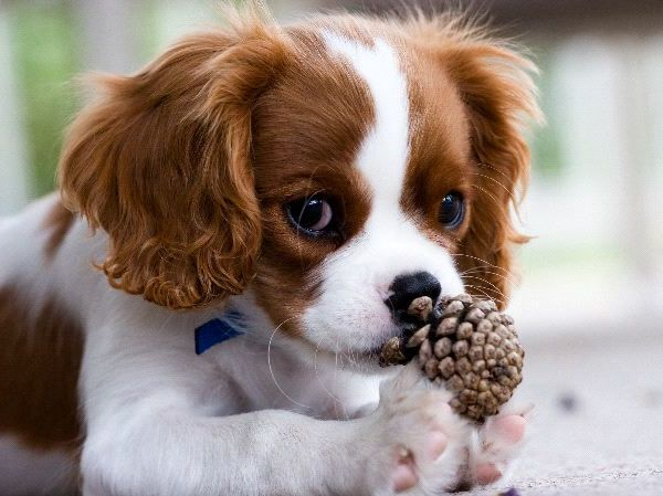 Adorable Cavalier King Charles Puppies For Sale Picture
