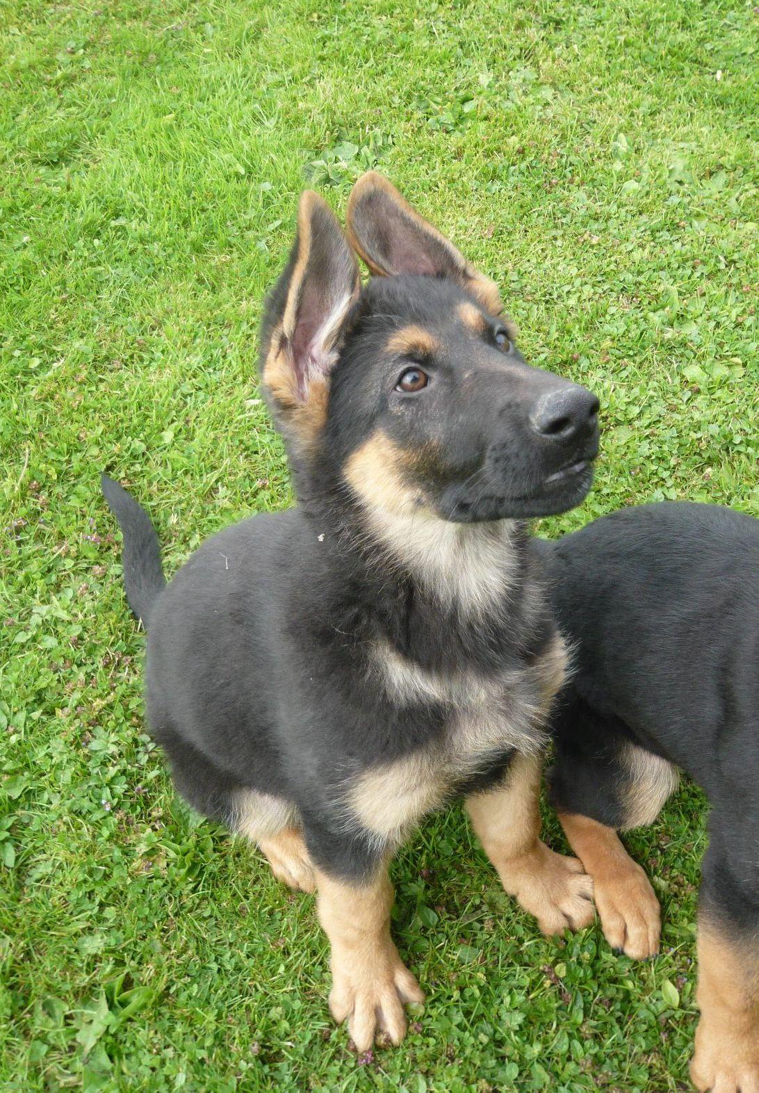 Adorable German Shepherd Puppies For Adoption Wallpaper Dog Breeders Guide