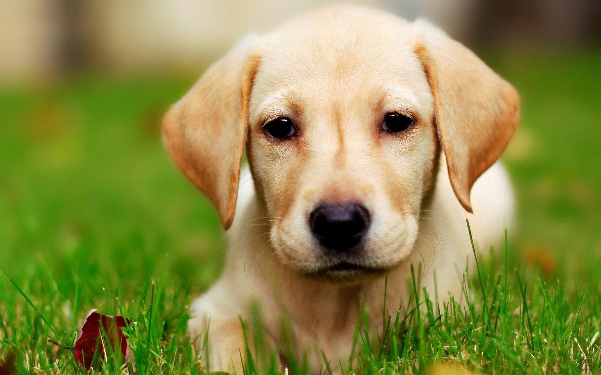 Adorable Golden Retriever Puppy Wallpaper Dog Breeders Guide