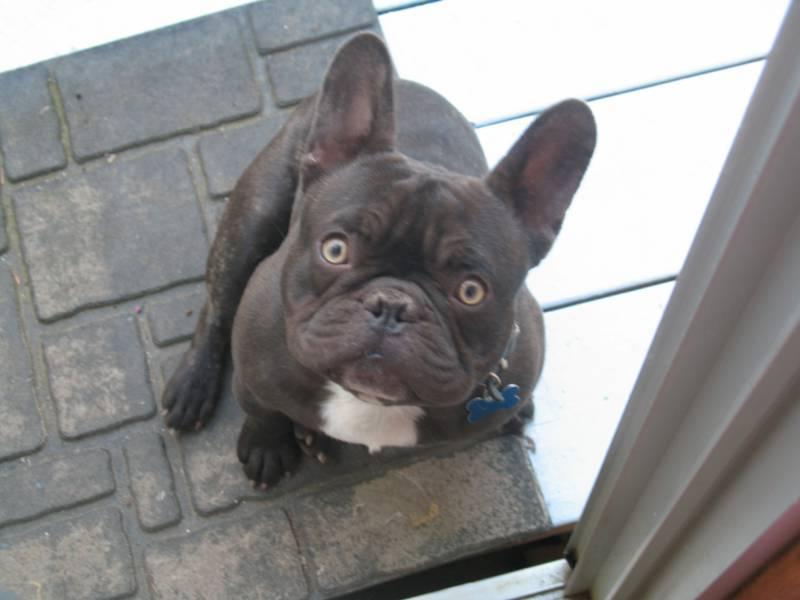 Adorable Mini French Bulldog Puppies Wallpaper Dog Breeders Guide