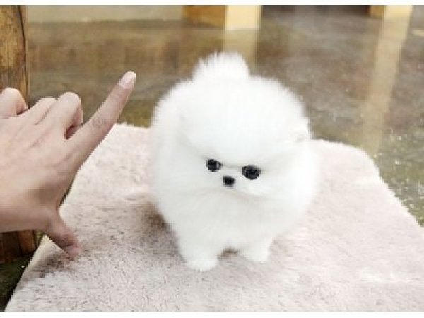 Adorable-mini-pomeranian-puppies-image - Dog Breeders Guide