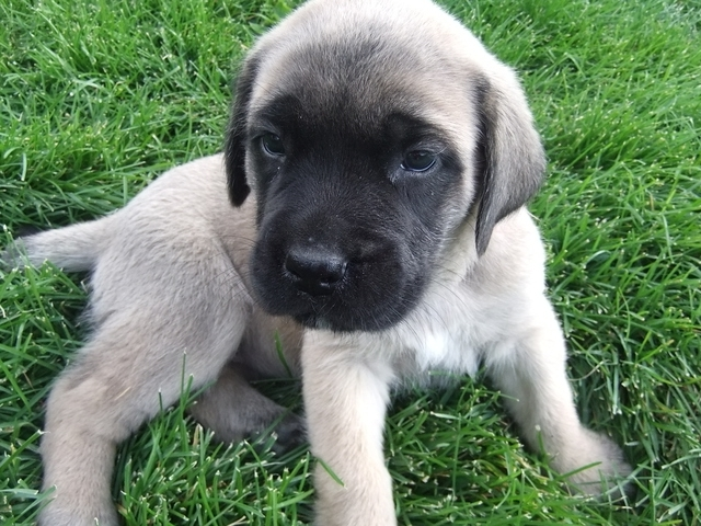 Adorable Old English Mastiff Puppies Picture