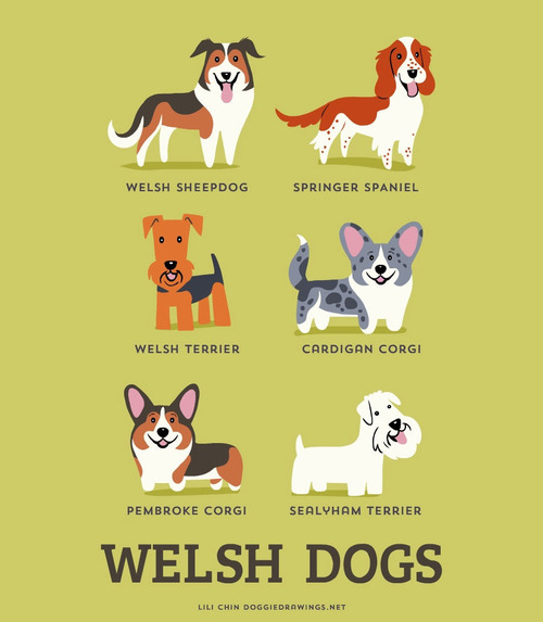 Welsh Dogs Breed Picture