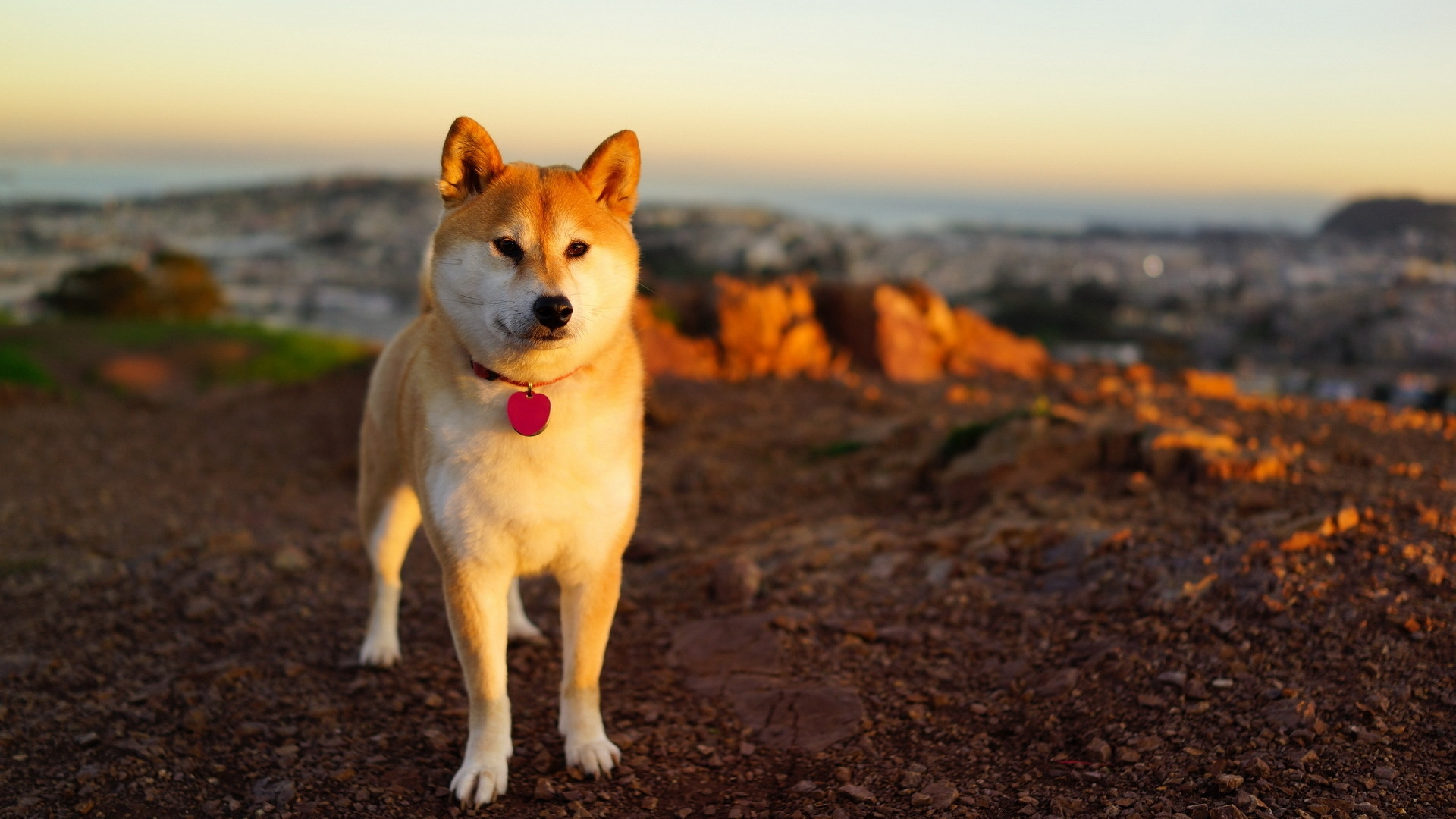 All About AKITA INU Dog Breed