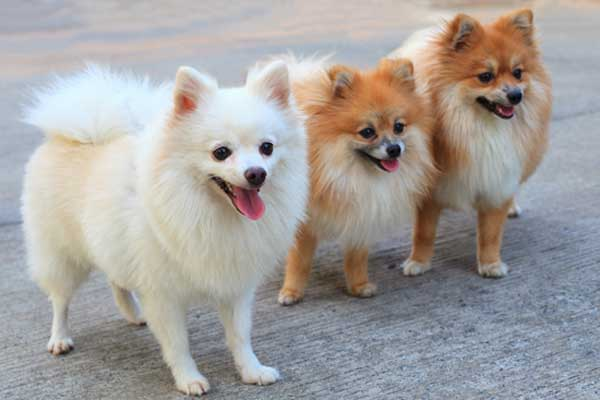 Common Small Dogs Breeds