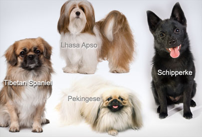 some of small dogs breeds