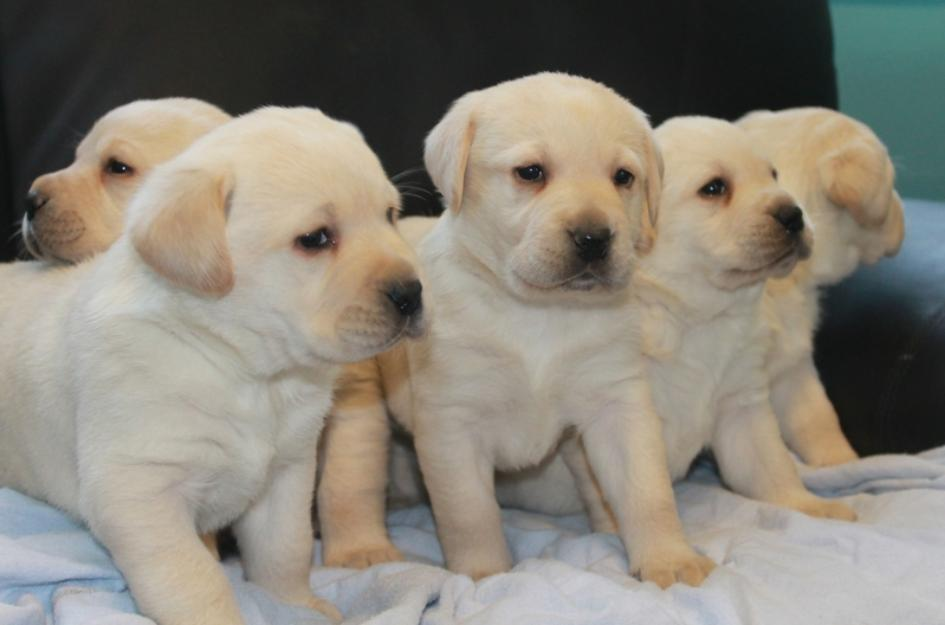 pictures of labrador puppies
