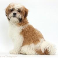 adult maltese shih tzu dog pictures