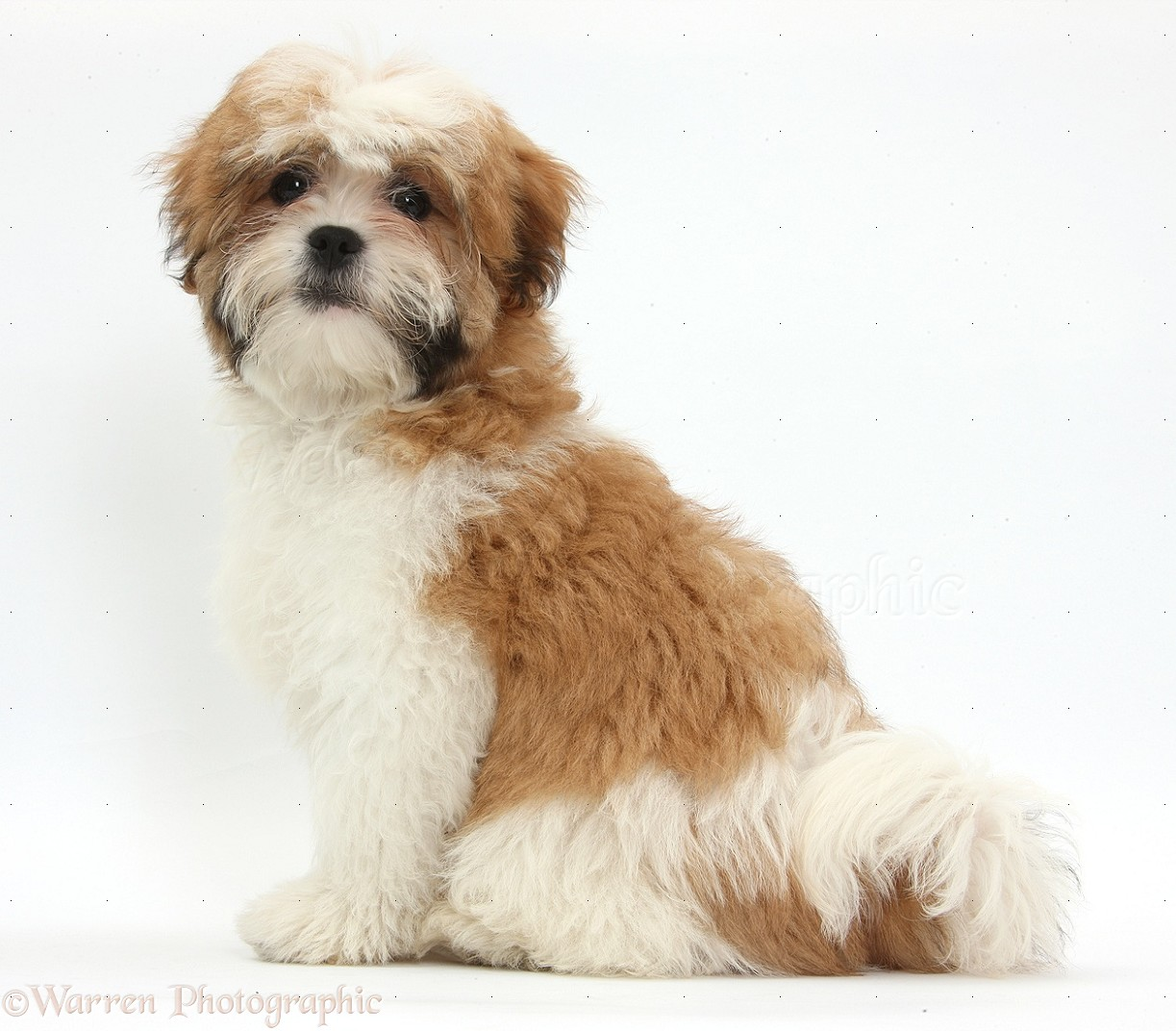 adult maltese shih tzu dog pictures - Dog Breeders Guide
