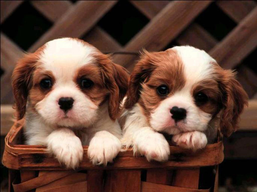 Images of king charles spaniel puppies