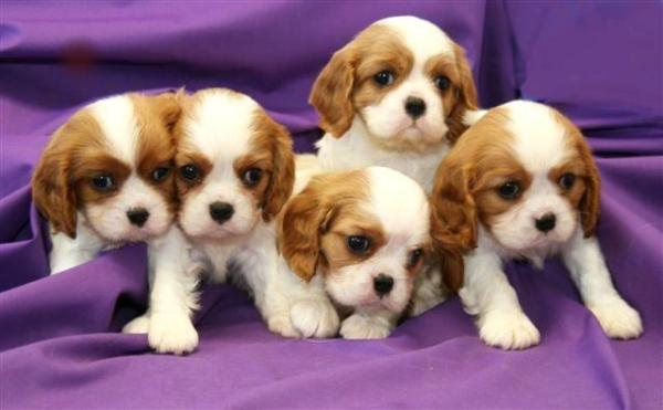 king charles spaniel puppies pictures