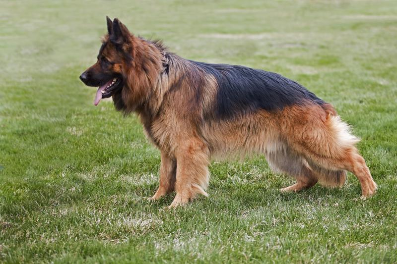 Long Coat German Shepherd Breeders