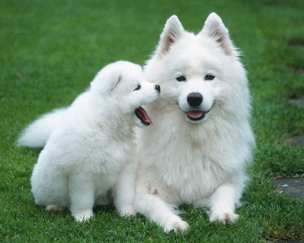 Most Beautiful White Dog Breeds Picture