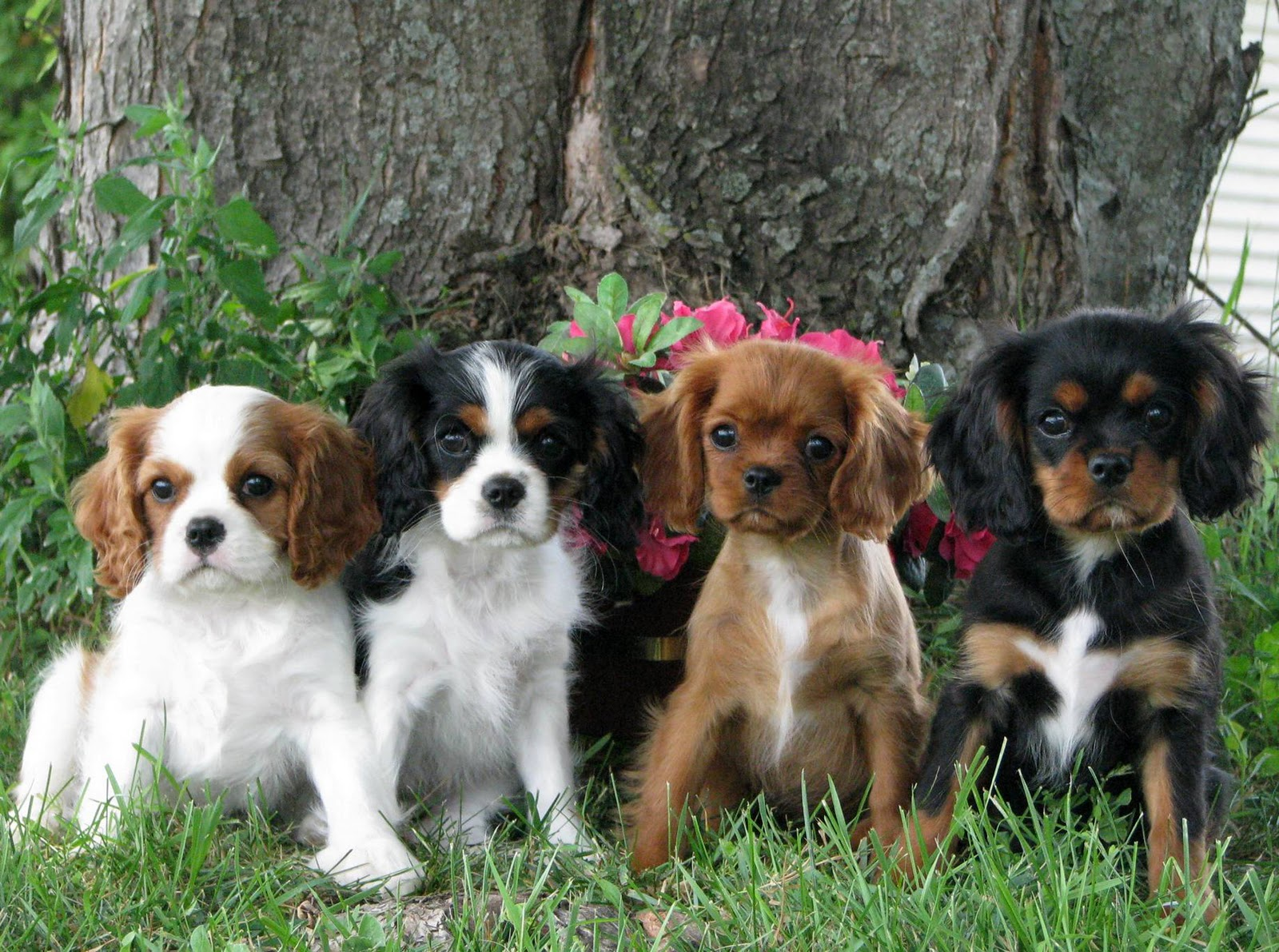 pictures of king charles spaniel puppies