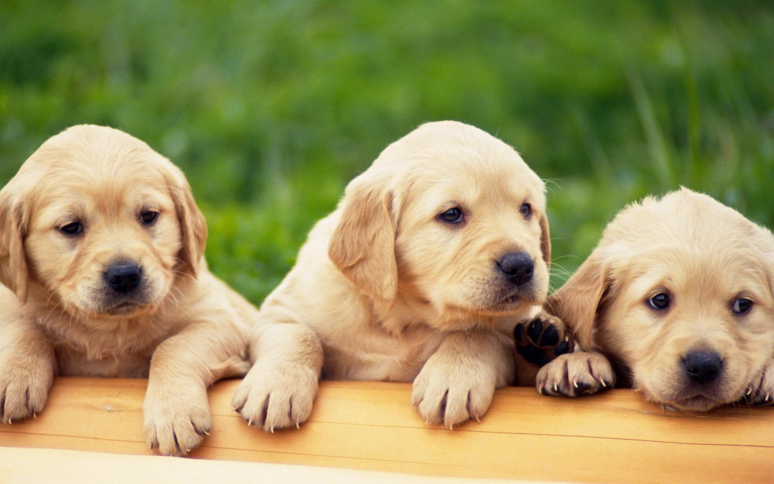 So Cute Labrador Puppies Wallpaper Dog Breeders Guide