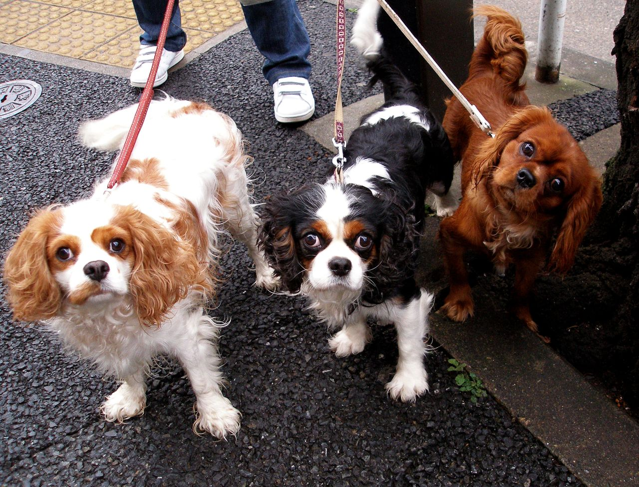 Add photos Three King Charles Spaniel dogs in your blog: