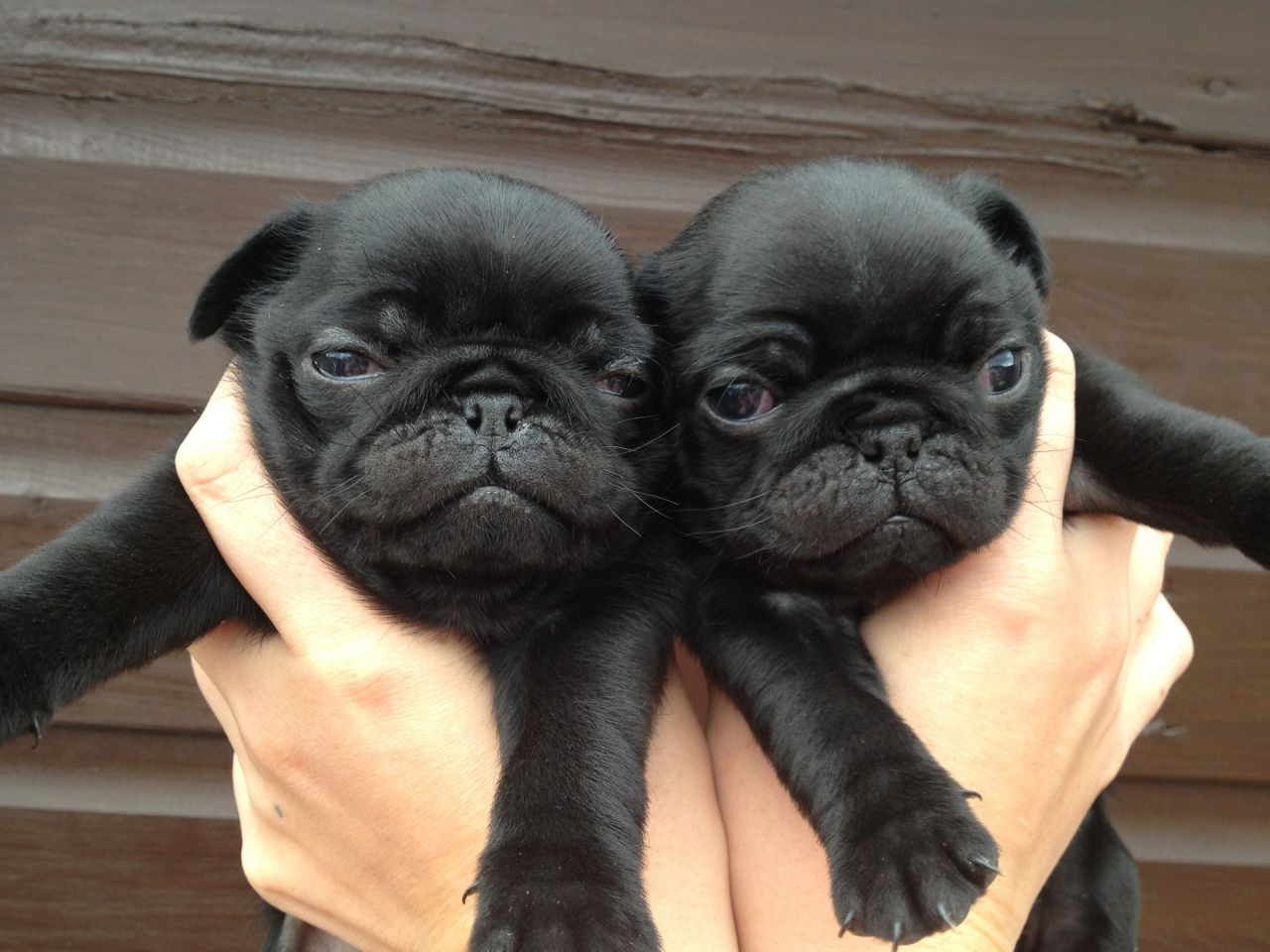 Adult Pugs Picture