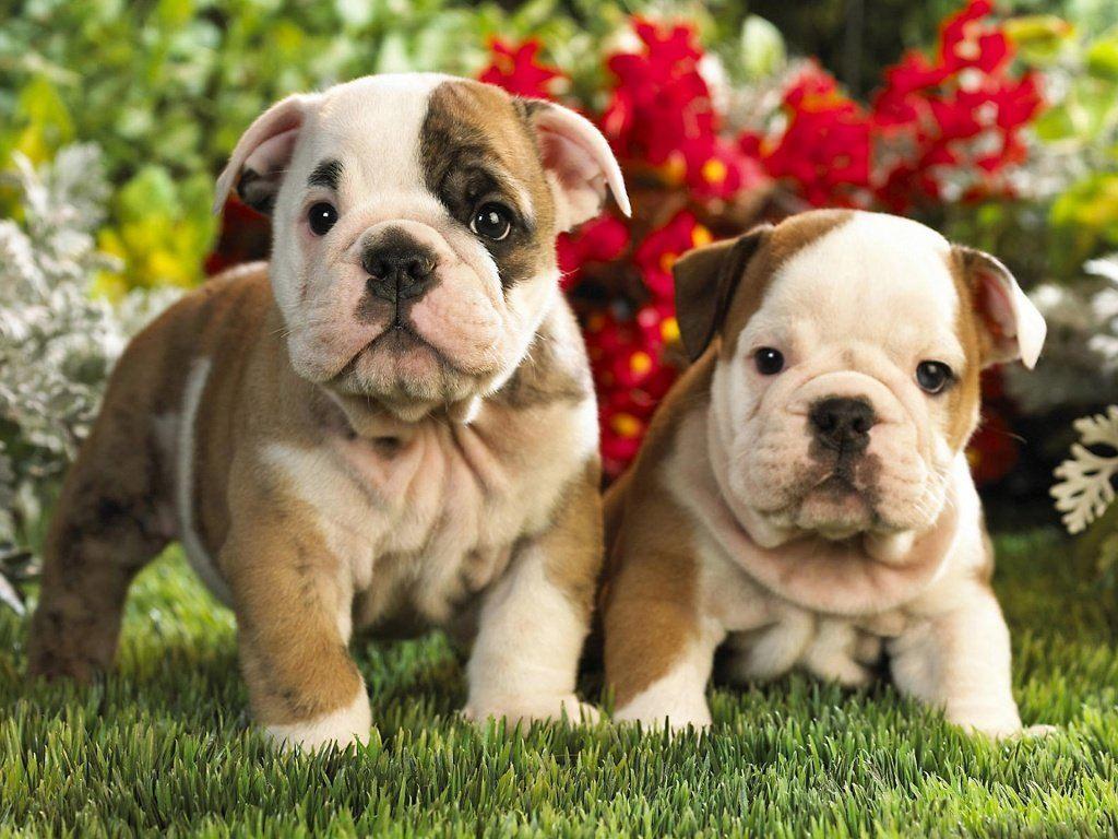 American Bulldog Picture Houston Dog Breeders Guide