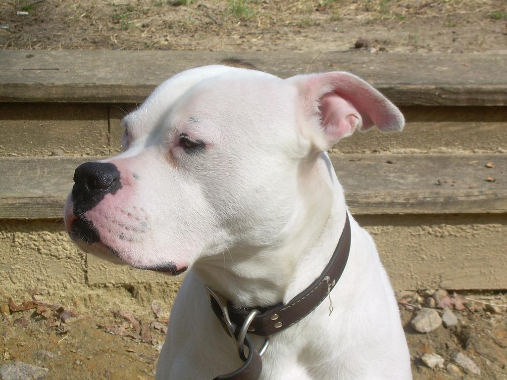 American Bulldogs Picture Pa