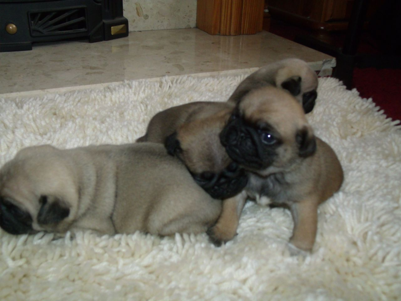 Apricot Pug Puppies Picture Dog Breeders Guide